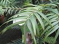 Wollemia nobilis leaf detail 2.jpg