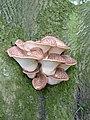 Wood Fungi - panoramio.jpg
