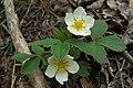 Wood Strawberry (2506365731).jpg