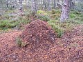 Wood ant nest - geograph.org.uk - 560041.jpg