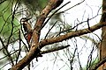 Woodpecker - Brownsea Island (29888975041).jpg