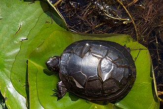 Turtle shell - Midland painted turtle showing shedding of scutes