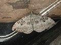 Xanthorhoe montanata - Silver-ground carpet - Ларенция щавелевая (26087815627).jpg