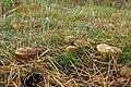 Xerocomellus cisalpinus (36625093876).jpg