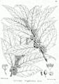 Xylosma longifolium Bra4.png