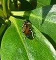 Xylota segnis. Syrphidae. - Flickr - gailhampshire.jpg