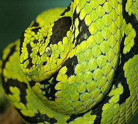 Yellow-Blotched Palm-Pitviper.jpg