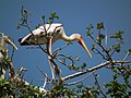 Yellow-billed Stork Mycteria ibis in Tanzania 4556 Nevit.jpg
