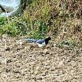 Yellow-billed blue magpie-2, Kandbari, Himachal Pradesh by Avyakta.jpg