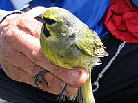 Yellow-bridled finch male.jpg