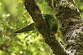 Yellow-fronted Parakeet - South Island - New Zealand (24402054557).jpg