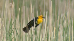 Ficheru:Yellow-headed Blackbird (Xanthocephalus xanthocephalus).webm