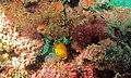 Yellow Boxfish (Ostracion cubicus) juvenile (6086375654).jpg