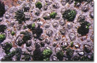 Coralline algae - Spongites yendoi together with the gardening limpet Scutellastra cochlear
