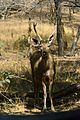 Young Sambar Deer (Rusa unicolor).jpg