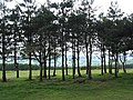 Young conifers on May Hill - geograph.org.uk - 447566.jpg
