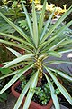 Yucca elephantipes 'Silver Star' Plant 2000px.jpg