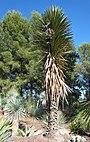 Yucca filifera JOT.jpg