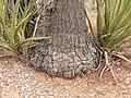 Yucca schidigera 16.jpg
