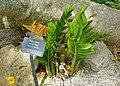 Zamioculcas zamiifolia - Mounts Botanical Garden - Palm Beach County, Florida - DSC03646.jpg