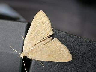<i>Zanclognatha</i> genus of insects