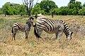Zebra Baby Mother (190898913).jpeg