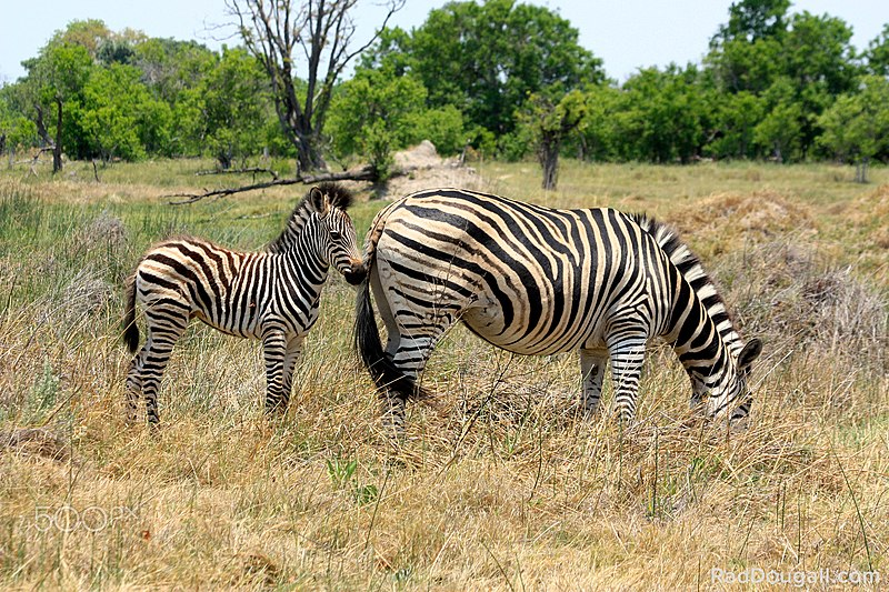 File:Zebra Baby Mother (190898913).jpeg
