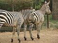 Zebra in Islamabad, Bhurban Pakistan.jpg