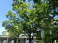 Zelkova tree in Hakozaki Campus, Kyushu University.JPG