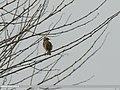 Zitting Cisticola (Cisticola juncidis) (33156713075).jpg
