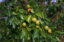 feuilles et fruits du zizphus mucronata