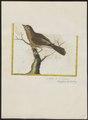 Zonotrichia liturata - 1700-1880 - Print - Iconographia Zoologica - Special Collections University of Amsterdam - UBA01 IZ16000293.tif