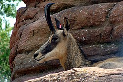 meaning of chamois