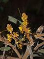 ! Senna notabilis flowers.jpg