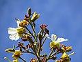 """""""chapéu-de-couro"""" - Salvertia convallariodora A.St.-Hil. - Vochysiaceae 05.jpg"""