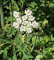 'Heracleum sphondylium' - Common Hogweed at Shipley, West Sussex, England 02.JPG