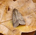 (2400) Scarce Bordered Straw (Helicoverpa armigera) (36965002003).jpg