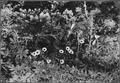 (Erigeran Saluginosus) - NARA - 299018.tif