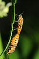 Булавники беленовые (Corizus hyosciami)Copula.jpg