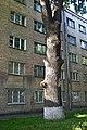 Величавий дуб DSC 0799.jpg