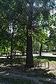 Гінкго Сікорського DSC 0032.jpg