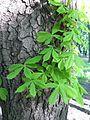Дерево в парке им. Шевченко - panoramio.jpg