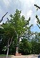 Дуб Вітовта DSC 0500 stitch.jpg