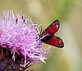 Пестрянка таволговая - Zygaena filipendulae - Six-spot burnet - Зигена (Циганка) - Sechsfleck-Widderchen (20622129461).jpg