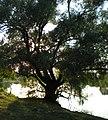 Старая ива - panoramio.jpg