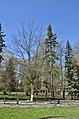 Тернопільські магнолії - Весняний цвіт - 17049705.jpg