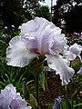 Цвітіння ірисів в ботанічному саду ТНУ імені В. І. Вернадського.jpg