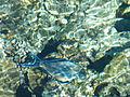Шарм-еш-Шейх рибка4.jpg