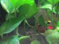 דנדרובטס צהוב-פסים Dendrobates leucomelas.webp