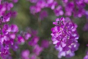 گلها و گیاهان دارویی، روستای خفر پادنا در ایران 03.jpg